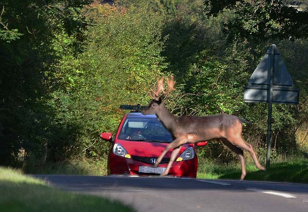 Epping Forest Deer Collision